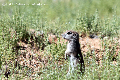 Round Tail Ground Squirrel
