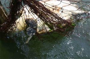Loggerhead Bycatch