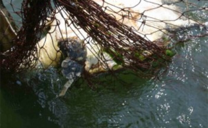 Bycatch Claims Sea Turtles By the Millions