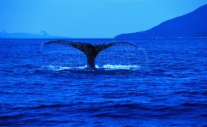 Proposal to save whales means lifting whaling ban and sanctuary harpooning