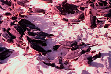 Will Climate Change Alter Sea Turtle Populations to the Point of Extinction?