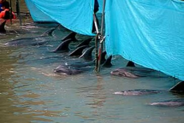 Break that bloody tradition! Censoring Dolphin Conservation