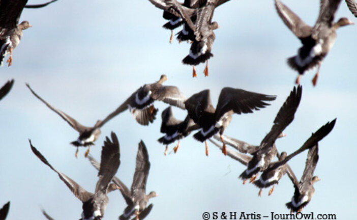 The Thunder of Greater White-Fronted Geese