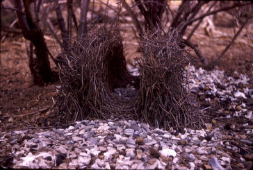 Hey! That's no Bowerbird, it's a Burrowing Owl!