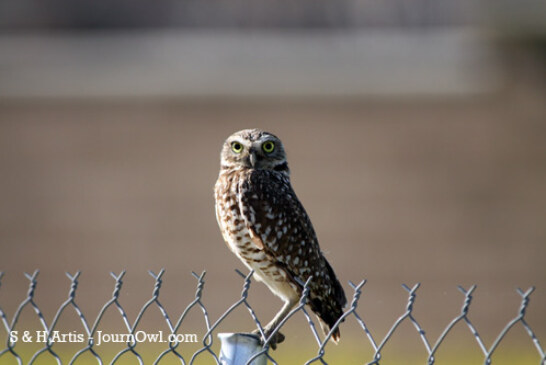 Photos of the increasingly rare urban owl (Athene cunicularia urbanus)