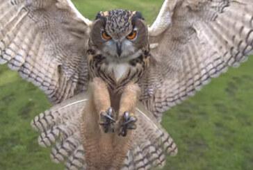 Eagle Owl on Final Approach