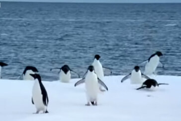 Must See BBC Penguin Footage!