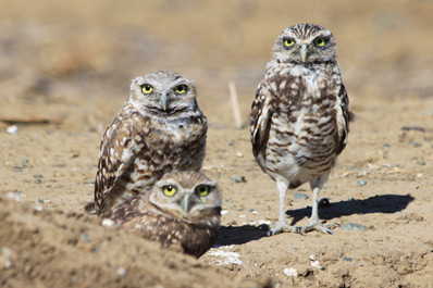 Owlets run for cover