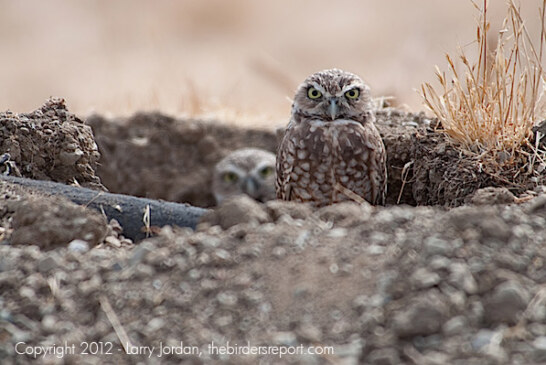 Burrowing Owls Embark on Cross-Continent Migration