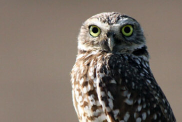 Protecting Burrowing Owls – Education Video for Developers