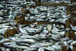 Seafood Import Monitoring Program to curb illegal fishing and fraud