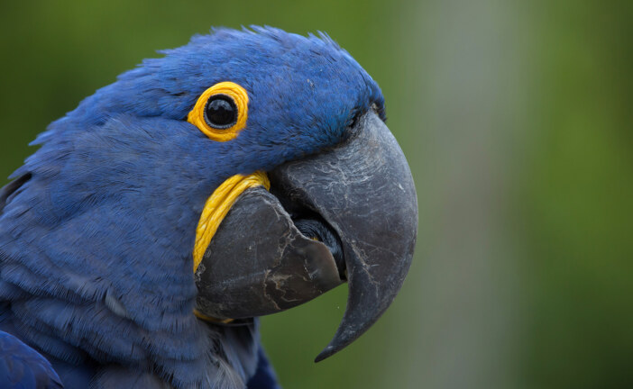 Hyacinth Macaw Proposed for Protection Under Endangered Species Act