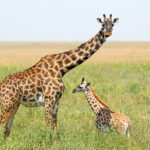 The iconic giraffe is now threatened with extinction
