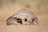 CITES Voted to Increase Protections for Pangloins